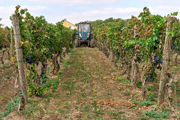 Tractor on the vineyard with harvesting, autumn weather