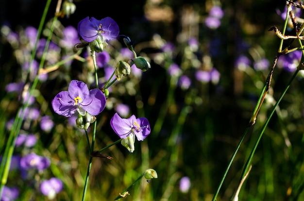 紫色のtradescantiaまたはspiderwortsの花。