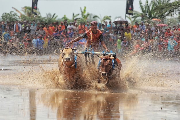 Traditional brujul cattle after harvest in java
