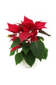 Традиционный рождественский цветок в горшке