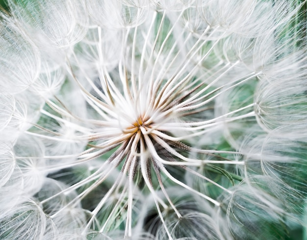 Трагопогон псевдомайор с. никит. семена одуванчика, фото крупным планом. тонировка в светлые тона.