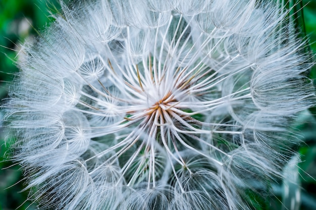 Трагопогон псевдомайор с. никит. семена одуванчика, фото крупным планом