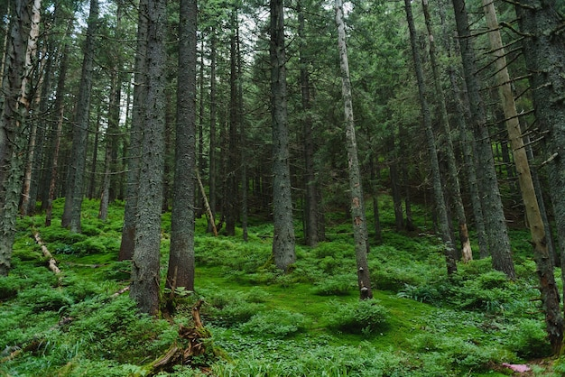 山の斜面にある暗い松林の中をトレイルします。カルパティア山脈、ウクライナ、ヨーロッパ。美容の世界。ヴィンテージフィルター