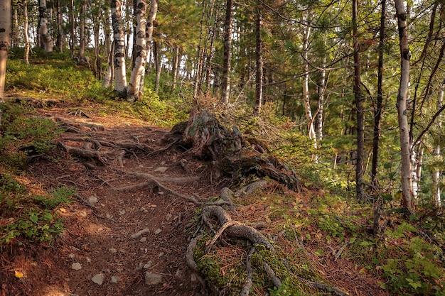 石と木の根のある夏の松林のトレイル