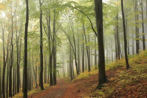 Прогулка по буковому лесу в туманную погоду.