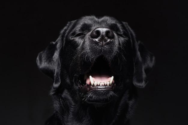 Дрессированный ретривер черного щенка на темном фоне. нет людей на фото одного животного. вид спереди лающей собаки лабрадора.