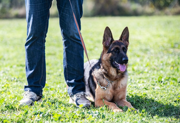 Training of german shepherd and obedience in nature