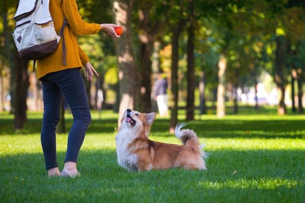 Training - girl and dog corgi walking in the park