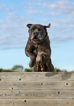 Training of obedience for dog