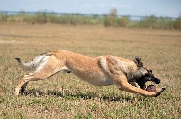 Дрессировка полицейской собаки