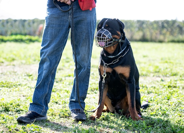 Training of rottweiler for obedience in nature