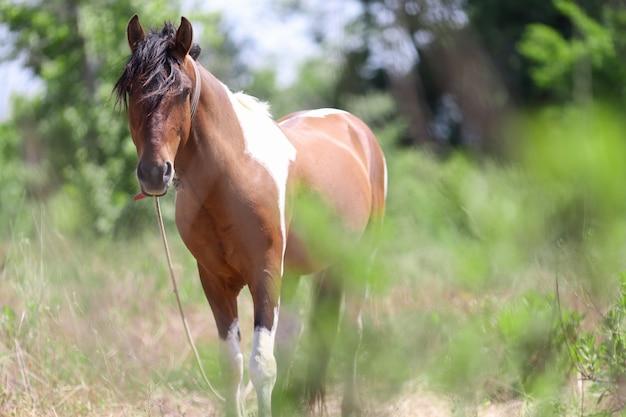 トラケナー馬は牧草地のクローズアップで一人で歩く