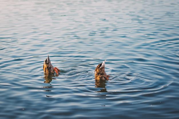 Lago tranquillo con due anatre domestiche