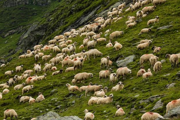 山の牧草地で羊。ルーマニアのtransfagarasan山の美しい自然の風景