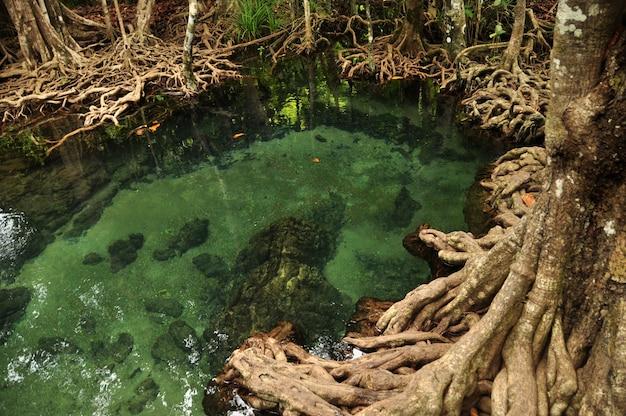 Прозрачная вода дикого тропического пруда или реки. сверху чистая вода с корнями мангровых деревьев.
