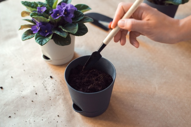 Пересадка фиолетового цветка сенполии
