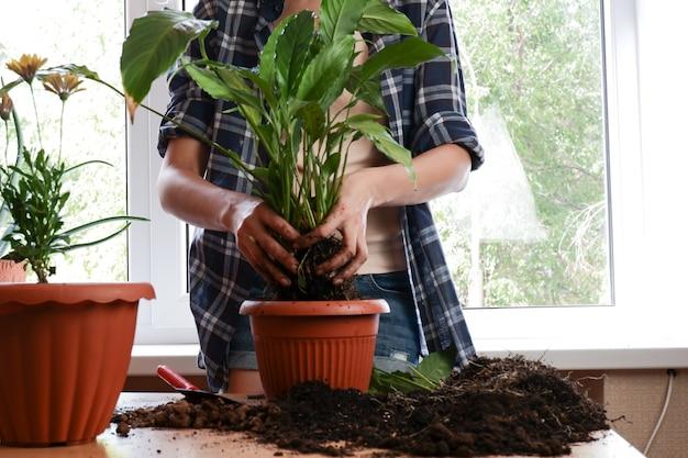 花植物をより大きな鉢に移植する女性の手がスパティフィラムの花を植える