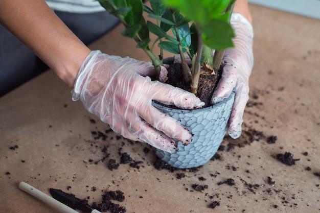 Пересадка цветка замиокулькас женские руки держат домашнее растение