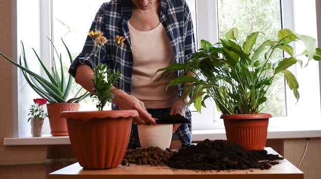 窓際の部屋に屋内の花spathifllumを移植する