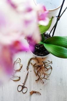 집에서 호접란을 이식하고 돌보고 난초의 뿌리를 가지 치기.