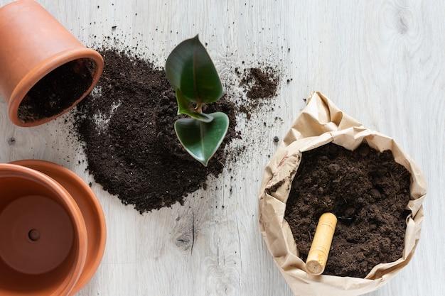 새로운 갈색 항아리에 ficus 꽃 이식, 집에서 관엽 식물 이식