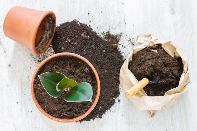 新しい茶色の土鍋にイチジクの花を移植し、自宅で観葉植物を移植します