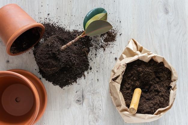 新しい茶色の土鍋にイチジクの花を移植、自宅での観葉植物の移植
