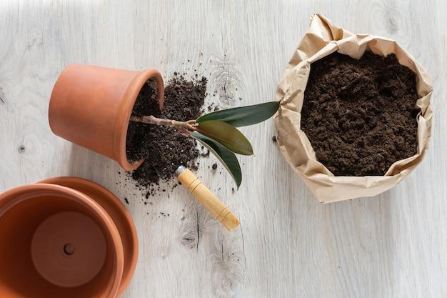 新しい茶色の土鍋にイチジクの花を移植する