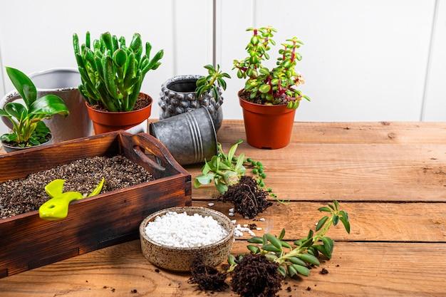 観葉植物を鉢に移植します。テキストのためのジューシーなケアの概念の空きスペース。高品質の写真