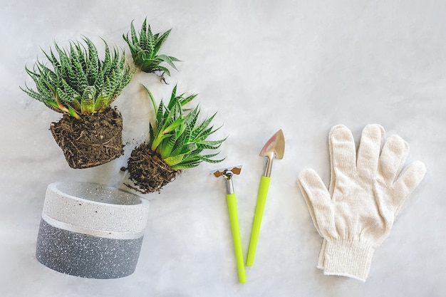 Transplanting indoor flowers and houseplant. sprouts of succulents, concrete pot, white gloves, rake and shovel tools