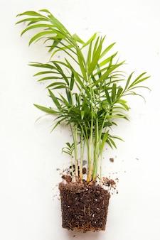 Пересадка комнатных растений. хамэдорея на белом фоне.