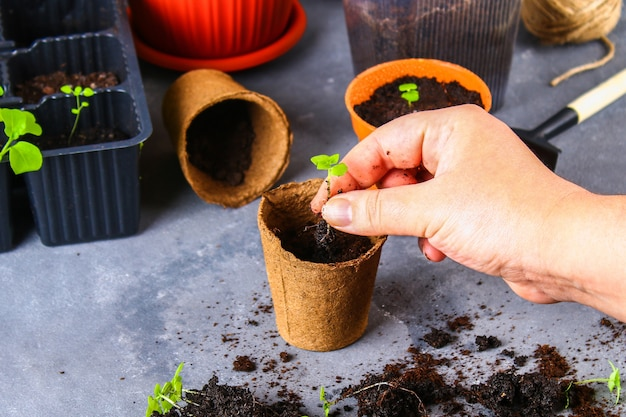 Transplanting, planting, sprinkling seedlings on a gray concrete background.