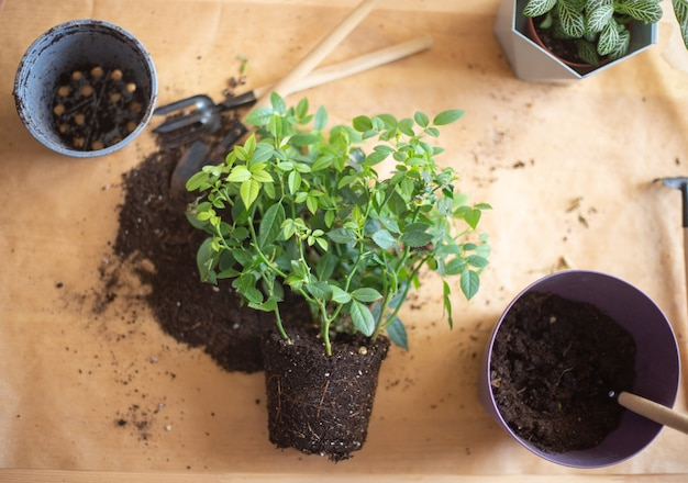 自宅で植物を根に移植する