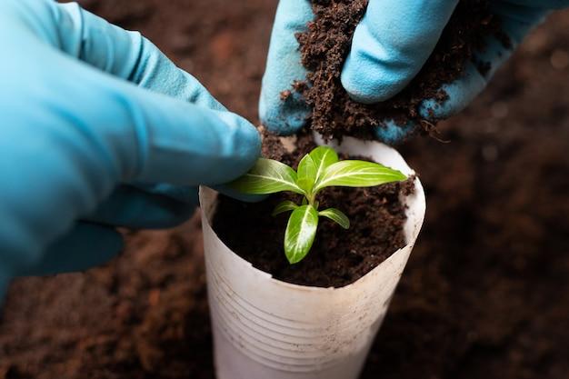 Transplanting seedlings. periwinkle growth process