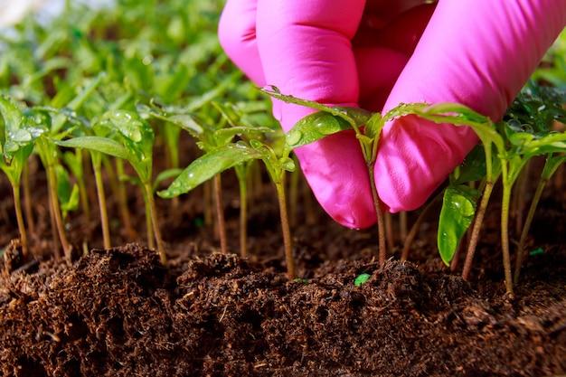 묘목 이식. 더 많은 성장을 위해 어린 고추 묘목을 이식합니다. 원예.