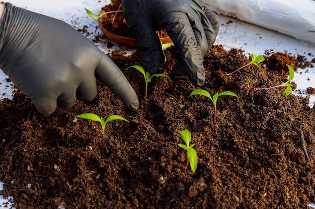 모종 이식. 어린 고추 묘목을 플라스틱 냄비에 이식합니다. 원예.