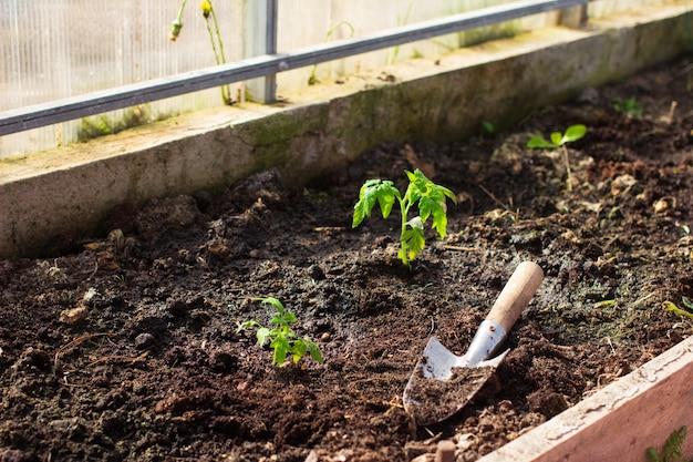 Пересадка небольших молодых саженцев томатов с садовыми принадлежностями в теплицу. выращивание продуктов питания, садоводство