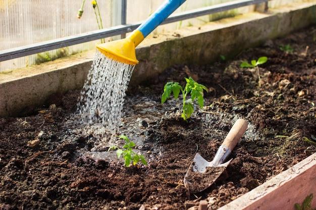 작은 어린 토마토 묘목을 정원 용품으로 온실에 이식합니다. 급수 식물, 원예