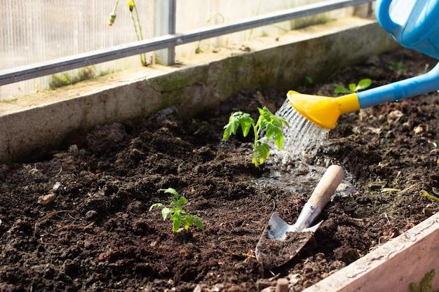 작은 어린 토마토 묘목을 정원 용품으로 온실에 이식합니다.