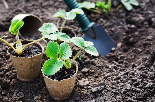 Transplanting strawberry plants.