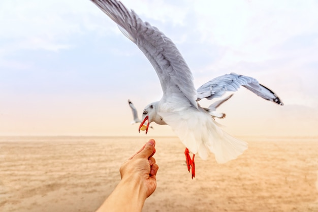 Traveller feeding food a seagull in flight by hand
