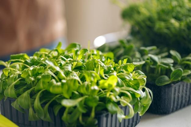 Поднос с микро зелеными ростками крупным планом фото