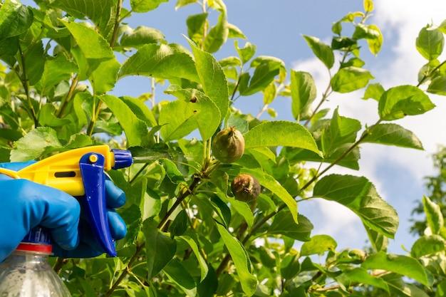 여름에 사과나무 가지를 해충이나 세균성 질병에 대한 살균제로 처리합니다. 분무기로 식물을 살포합니다. 정원 관리.
