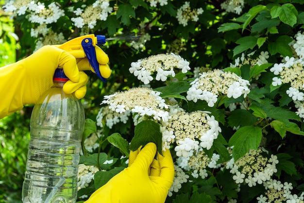 개화 중 해충의 살균제로 가막살 나무속 덤불 처리. 분무기로 식물을 살포합니다. 정원 관리.