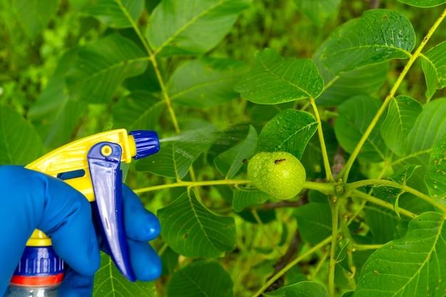 여름에 호두 가지를 해충이나 세균성 질병에 대한 살균제로 처리합니다. 분무기로 식물을 살포합니다. 정원 관리.