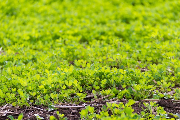 Trebol plantation for forage in the mountains
