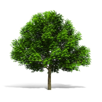 Tree 3d rendering on white background have work path.