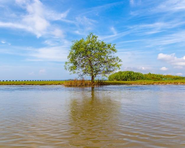 Tree alone at mangrove forest natural lake.