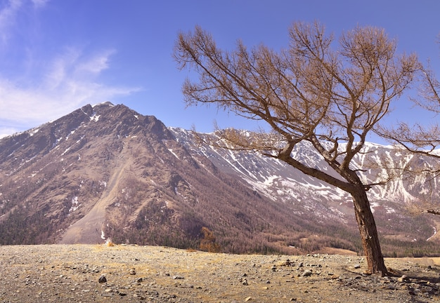 A tree in the altai mountains a bare tree leaned under a blue sky mountains with snow