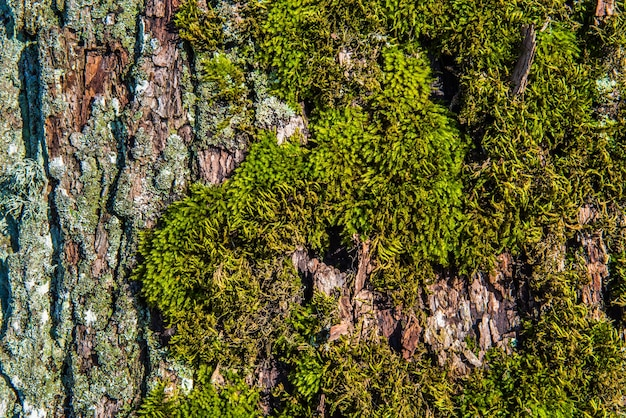 外の苔の背景で覆われた木の樹皮